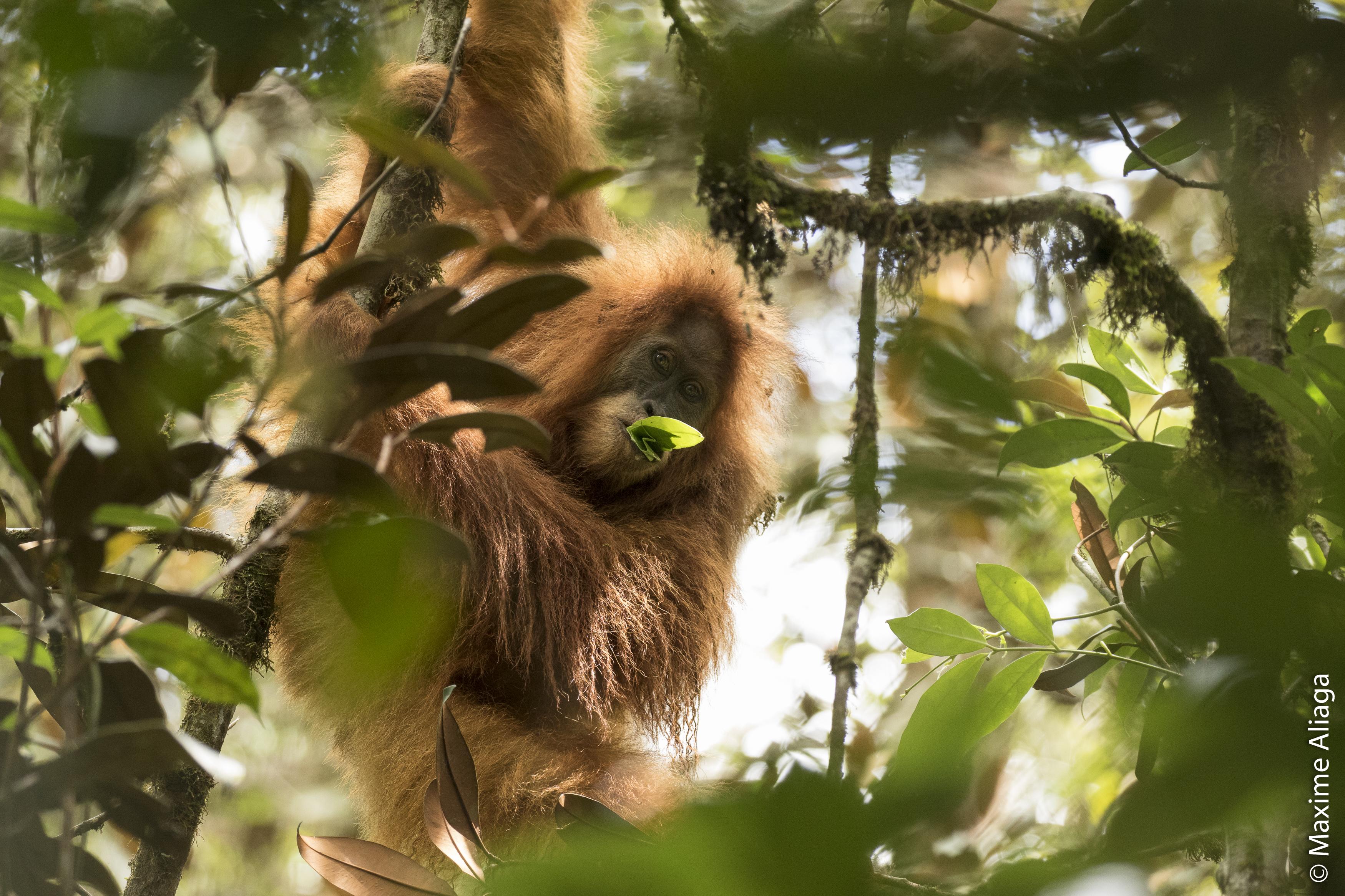 Orangutanes en indonesia